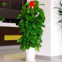 绿萝绿植盆栽办公室会议室客厅大型吸甲醛净化空气绿色植物盆景