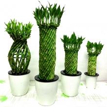 转运富贵竹水培植物花卉客厅卧室阳台竹子盆栽室内办公桌盆景绿植