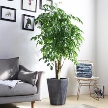 幸福树盆栽绿宝树办公室室内客厅大型绿植盆景好养花卉植物