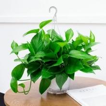 绿萝盆栽植物花卉水培吊兰观花绿植室内吸甲醛净化空气大绿箩包邮